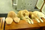 Σκύλοι προσεύχονται πριν το φαγητό
