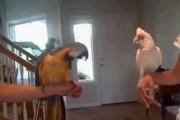 Χορευτική μονομαχία παπαγάλων