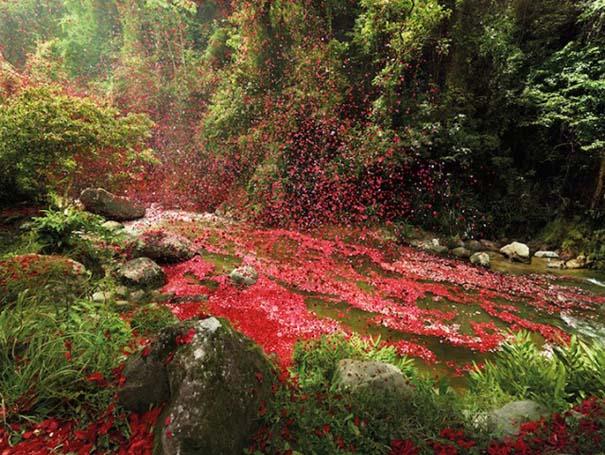 Χωριό στην Κόστα Ρίκα καλύφθηκε από 8 εκατομμύρια πέταλα λουλουδιών (5)