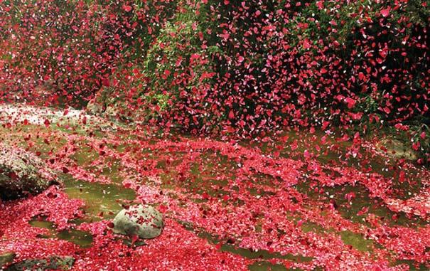 Χωριό στην Κόστα Ρίκα καλύφθηκε από 8 εκατομμύρια πέταλα λουλουδιών (6)
