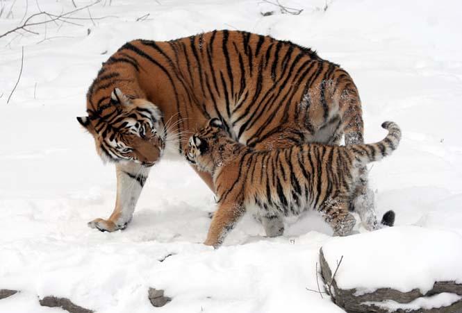 Η αγάπη της μητέρας: 35 υπέροχες φωτογραφίες από το ζωικό βασίλειο (4)