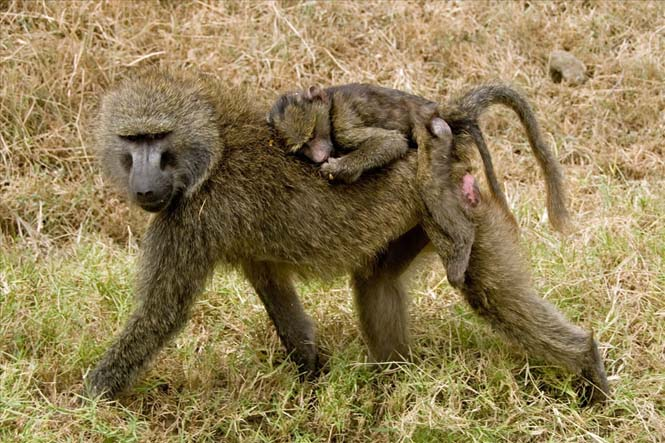 Η αγάπη της μητέρας: 35 υπέροχες φωτογραφίες από το ζωικό βασίλειο (6)