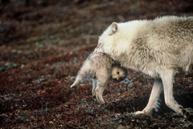 Η αγάπη της μητέρας: 35 υπέροχες φωτογραφίες από το ζωικό βασίλειο (8)