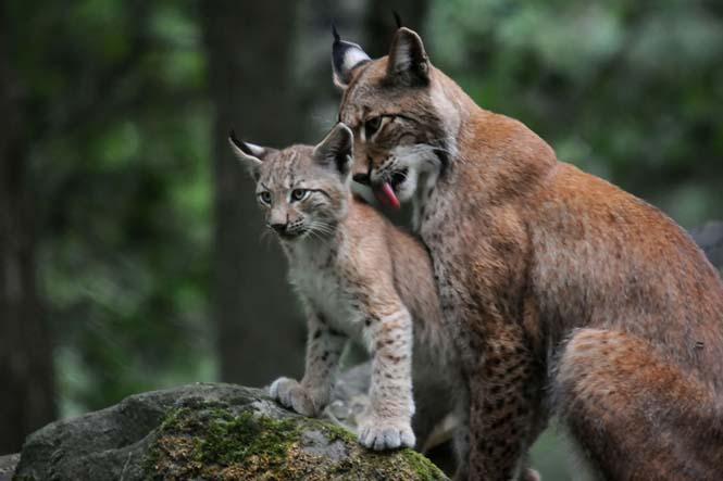 Η αγάπη της μητέρας: 35 υπέροχες φωτογραφίες από το ζωικό βασίλειο (10)