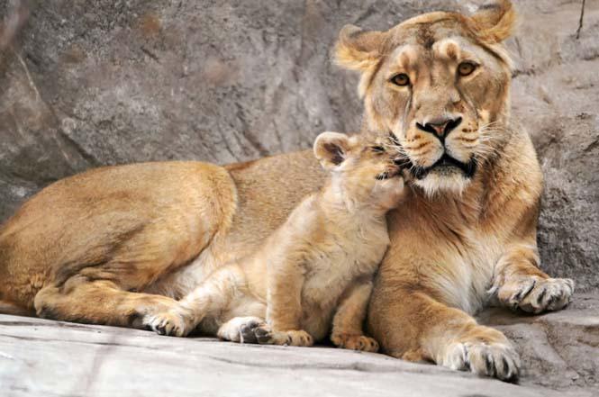 Η αγάπη της μητέρας: 35 υπέροχες φωτογραφίες από το ζωικό βασίλειο (12)