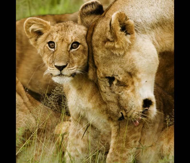 Η αγάπη της μητέρας: 35 υπέροχες φωτογραφίες από το ζωικό βασίλειο (13)