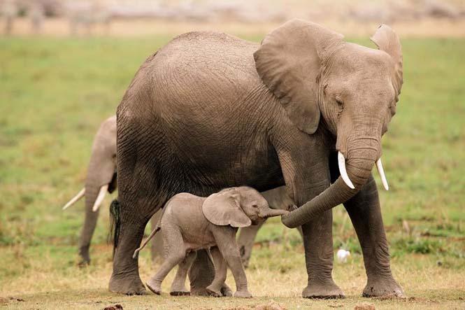 Η αγάπη της μητέρας: 35 υπέροχες φωτογραφίες από το ζωικό βασίλειο (15)