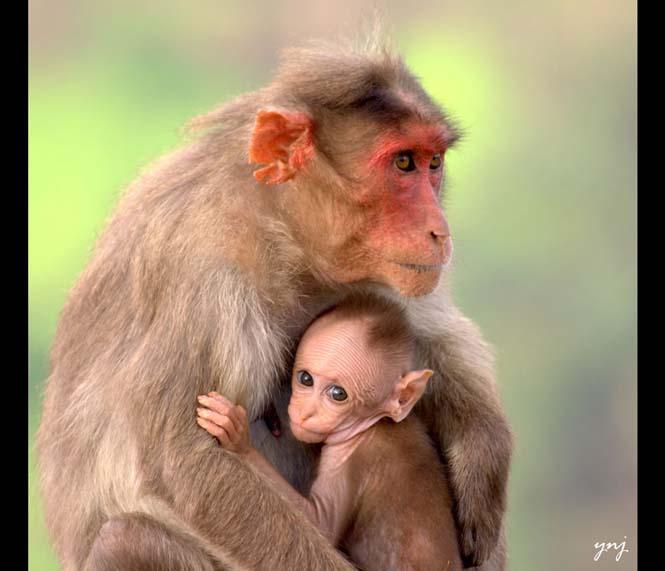Η αγάπη της μητέρας: 35 υπέροχες φωτογραφίες από το ζωικό βασίλειο (20)