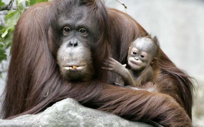 Η αγάπη της μητέρας: 35 υπέροχες φωτογραφίες από το ζωικό βασίλειο (25)