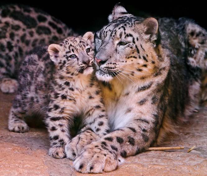 Η αγάπη της μητέρας: 35 υπέροχες φωτογραφίες από το ζωικό βασίλειο (32)