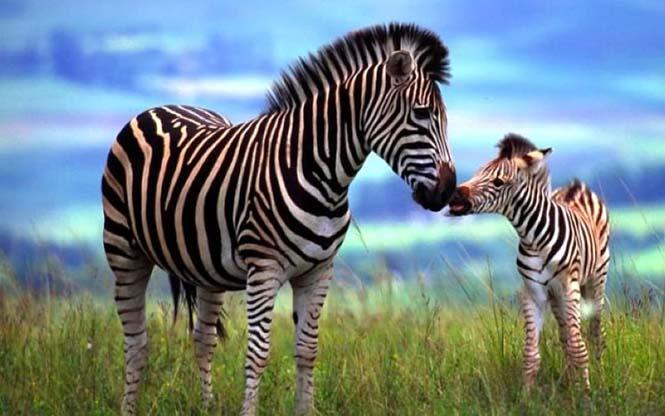Η αγάπη της μητέρας: 35 υπέροχες φωτογραφίες από το ζωικό βασίλειο (35)