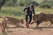 Άνδρας παίζει μπάλα με άγρια λιοντάρια