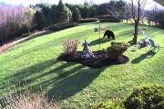 Δυο ατρόμητα bulldogs τα βάζουν με μια μαύρη αρκούδα