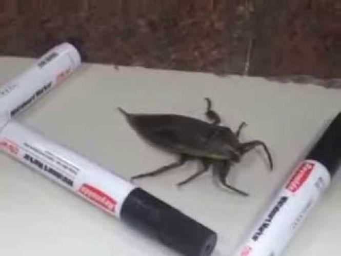 Εγκλώβισαν ένα τεράστιο έντομο με μαρκαδόρους...
