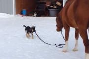 Κουτάβι βγάζει άλογο για βόλτα