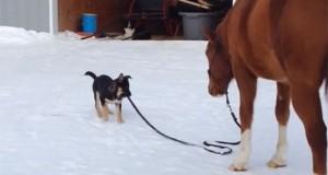 Κουτάβι βγάζει άλογο για βόλτα (Video)