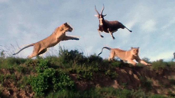 Λιοντάρι αρπάζει αντιλόπη στον αέρα