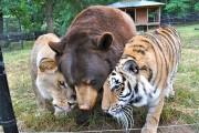 Λιοντάρι, τίγρης και αρκούδα