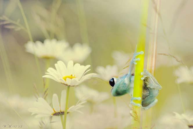Ο μαγευτικός μικρόκοσμος των βατράχων (11)