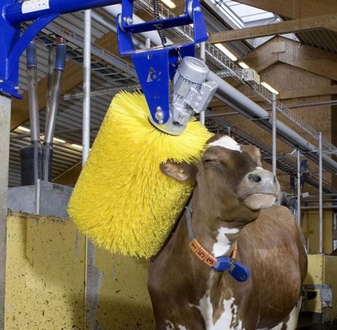 Πλυντήριο αγελάδων | Φωτογραφία της ημέρας