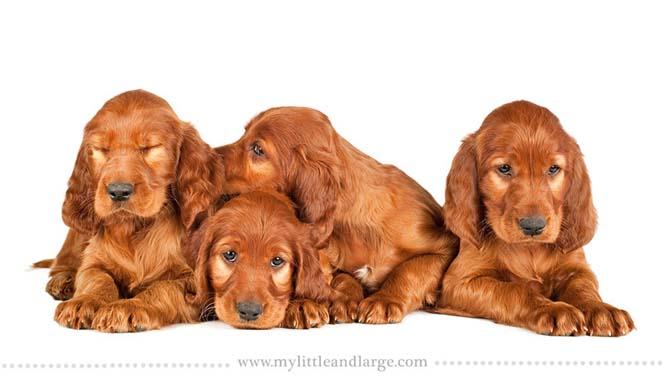 Ράτσες σκύλων στις 6 εβδομάδες (1)