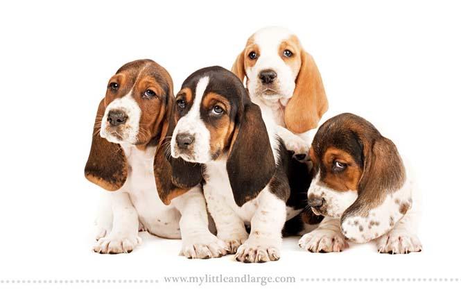 Ράτσες σκύλων στις 6 εβδομάδες (2)