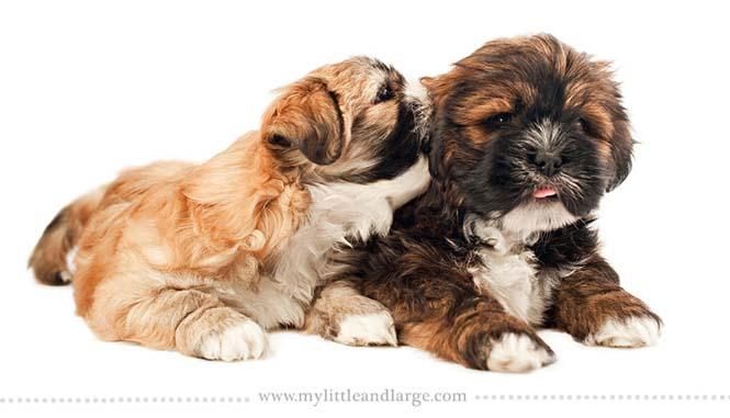 Ράτσες σκύλων στις 6 εβδομάδες (3)