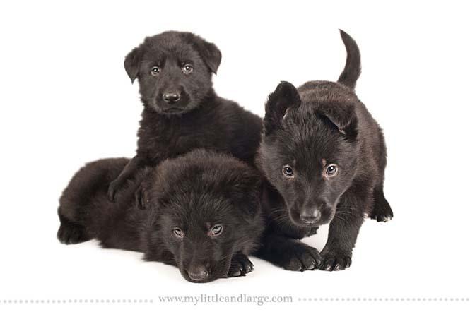 Ράτσες σκύλων στις 6 εβδομάδες (5)