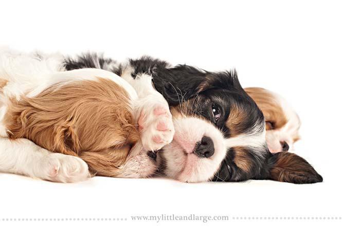 Ράτσες σκύλων στις 6 εβδομάδες (6)