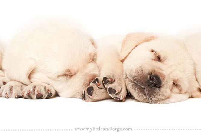 Ράτσες σκύλων στις 6 εβδομάδες (7)