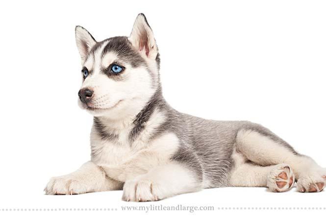 Ράτσες σκύλων στις 6 εβδομάδες (9)