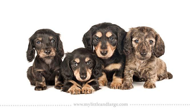 Ράτσες σκύλων στις 6 εβδομάδες (10)