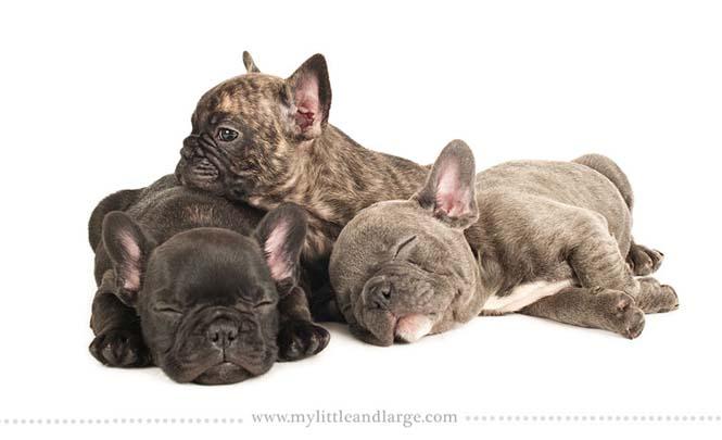 Ράτσες σκύλων στις 6 εβδομάδες (11)