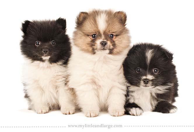 Ράτσες σκύλων στις 6 εβδομάδες (12)