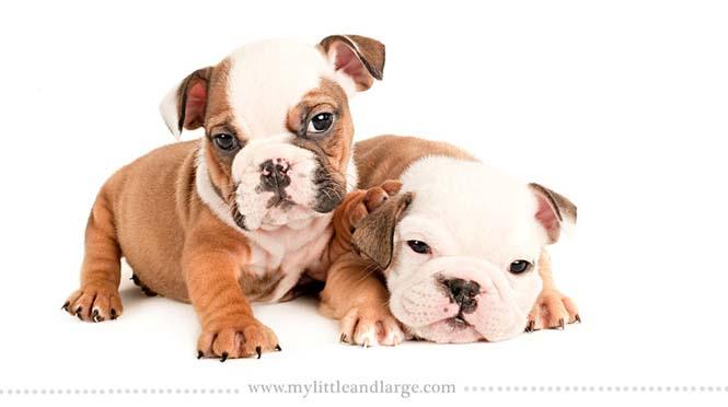 Ράτσες σκύλων στις 6 εβδομάδες (13)