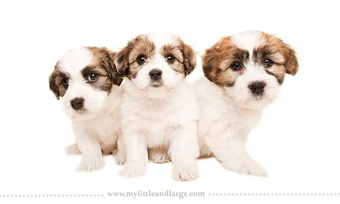 Ράτσες σκύλων στις 6 εβδομάδες (14)