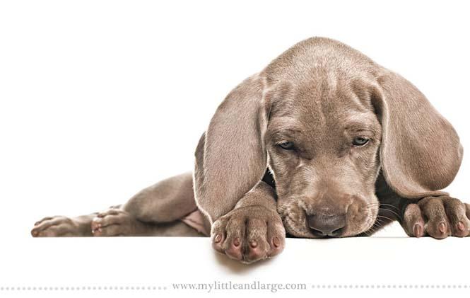Ράτσες σκύλων στις 6 εβδομάδες (15)