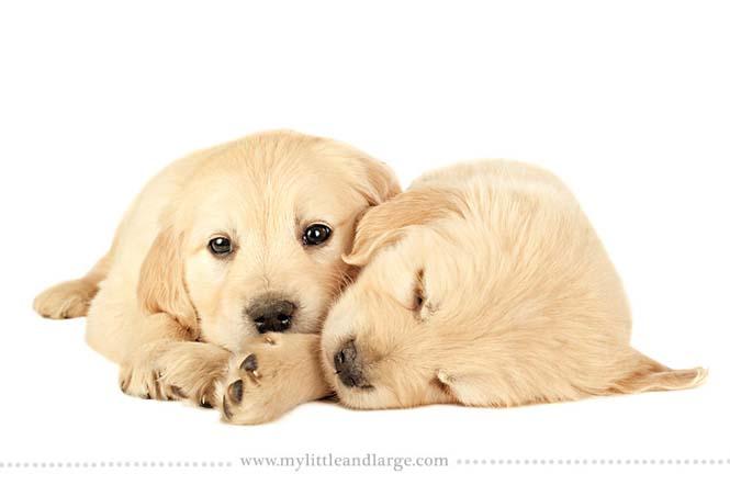 Ράτσες σκύλων στις 6 εβδομάδες (16)
