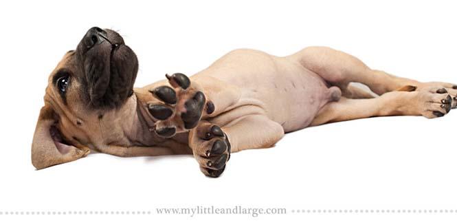 Ράτσες σκύλων στις 6 εβδομάδες (17)