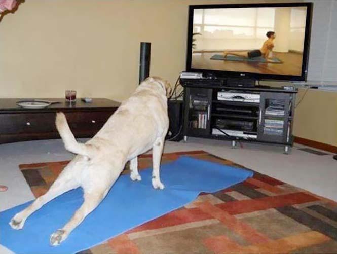 Ζώα που κάνουν Yoga (13)