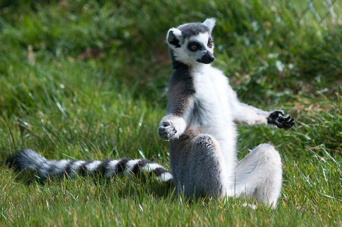 Ζώα που κάνουν Yoga (25)