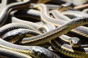 75.000 φίδια