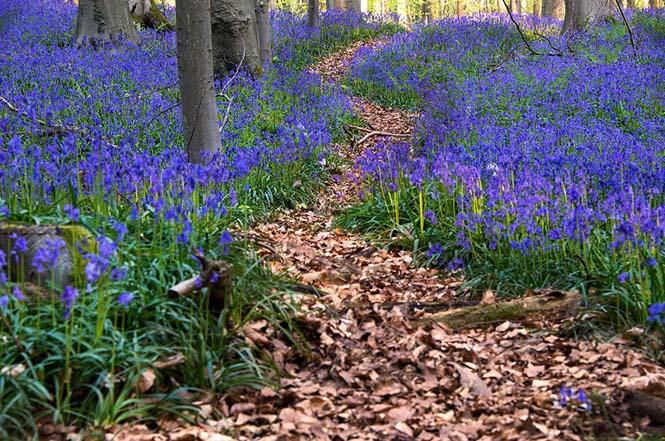 Το εκπληκτικό Μπλε Δάσος του Βελγίου (3)
