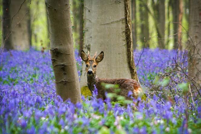 Το εκπληκτικό Μπλε Δάσος του Βελγίου (9)