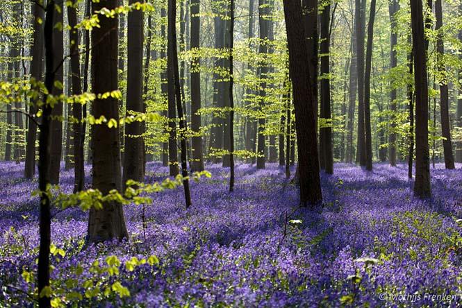Το εκπληκτικό Μπλε Δάσος του Βελγίου (10)