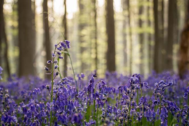 Το εκπληκτικό Μπλε Δάσος του Βελγίου (13)