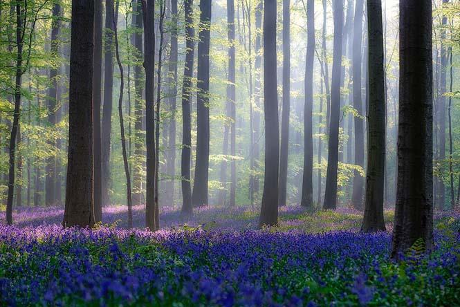 Το εκπληκτικό Μπλε Δάσος του Βελγίου (14)
