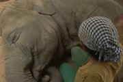 Νανουρίζοντας έναν ελέφαντα