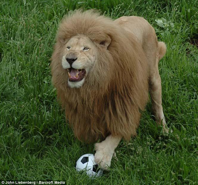 Όταν τα ζώα παίζουν ποδόσφαιρο (1)