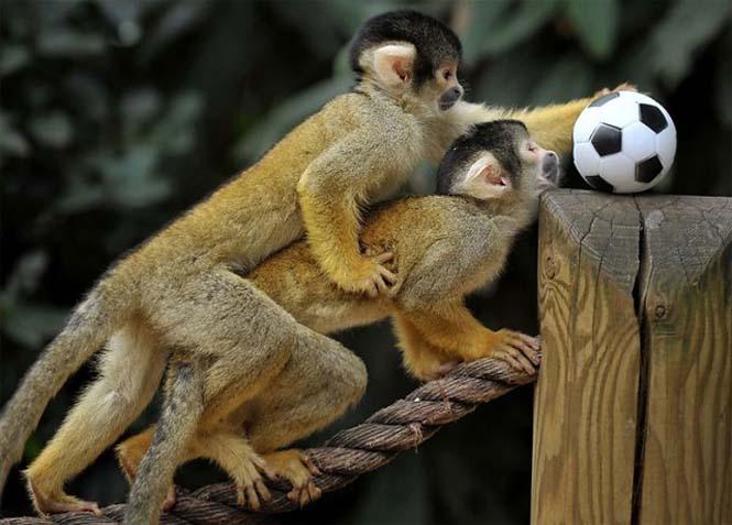 Όταν τα ζώα παίζουν ποδόσφαιρο (2)